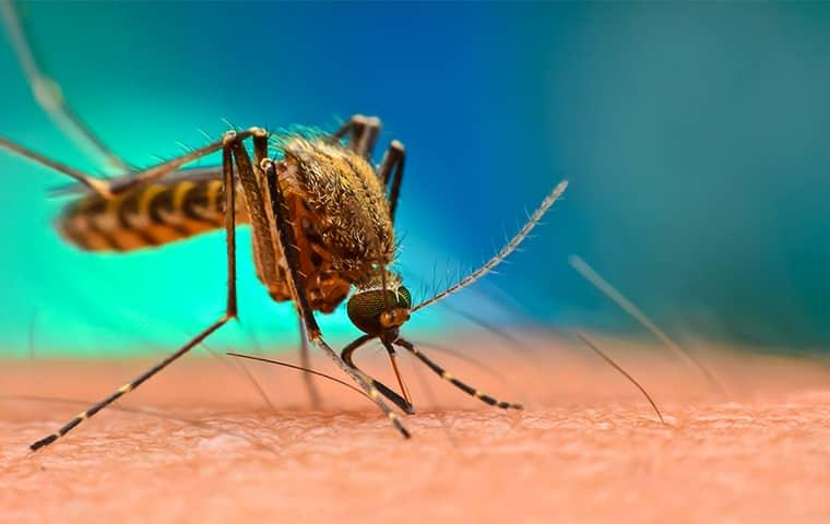 a large disease carrying mosquito biting on a new york resident  one summer day