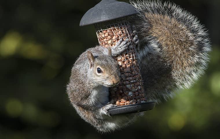squirrel hanging off of bird feeder in new york