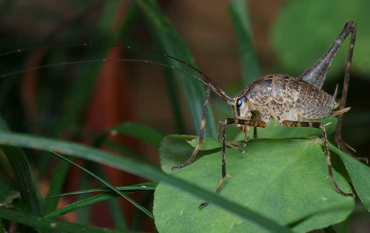 cave cricket sitting on leaf in westchester county
