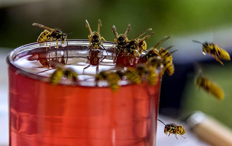 wasps swarming around open drinking container