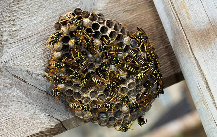 yellow jacket hive under porch on a home in westchester county