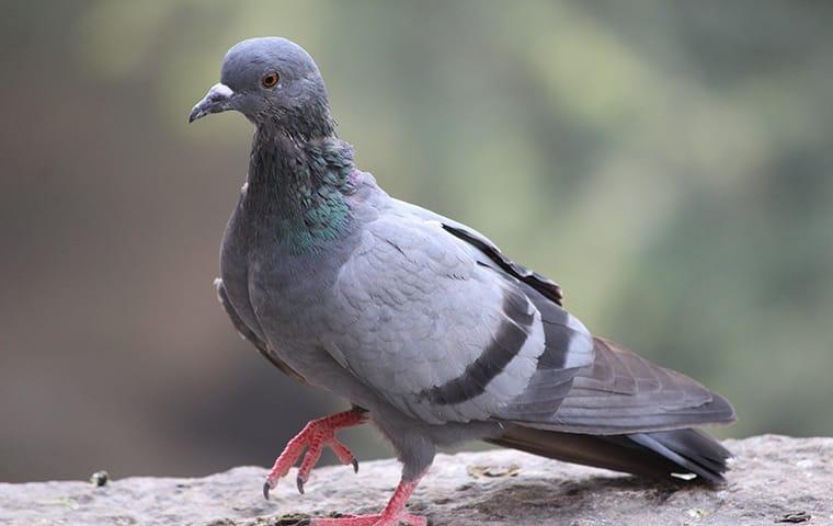 a pigeon pest bird infestation