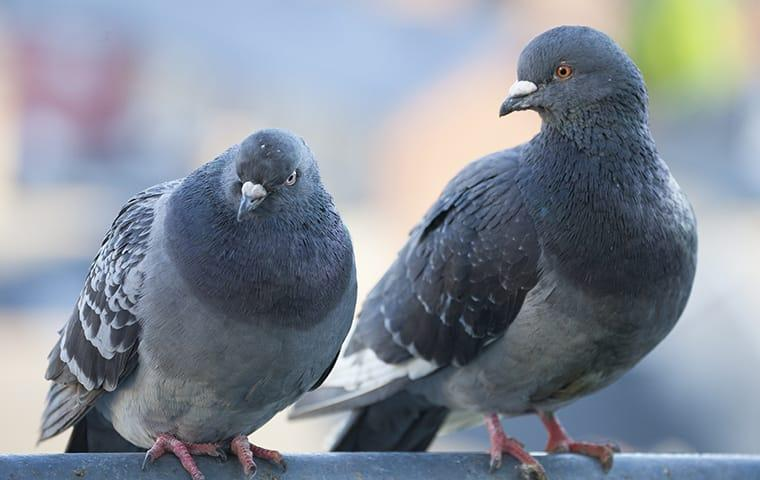a couple of pigeons sitting on the stoop of a new york apartment building