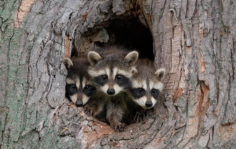 baby raccoons coming out of hole in tree trunk