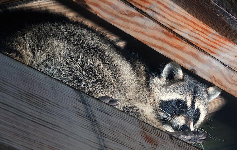 a raccoon climbing in a attic