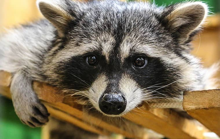 a raccoon up close