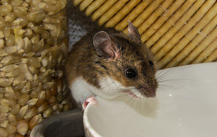 mouse in pantry standing on a bowl