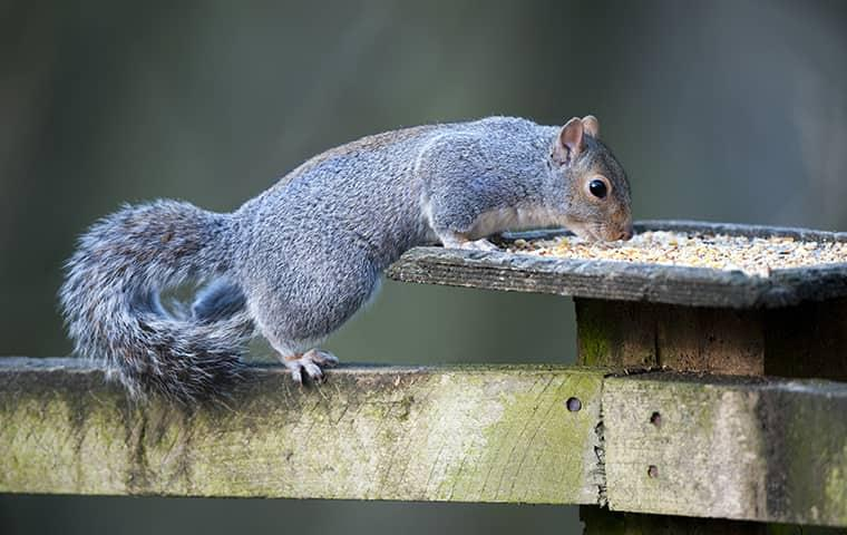 squirrel eating from bird feeder at home in new york