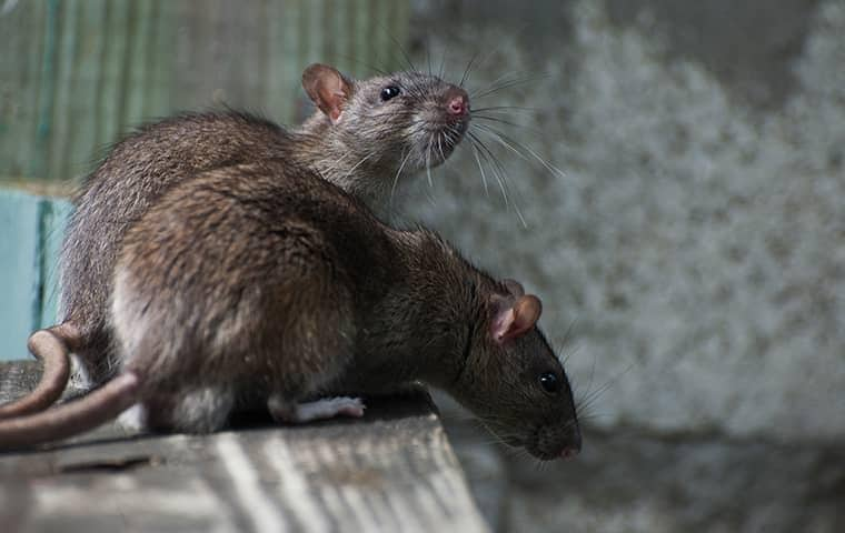 rodents in new york basement