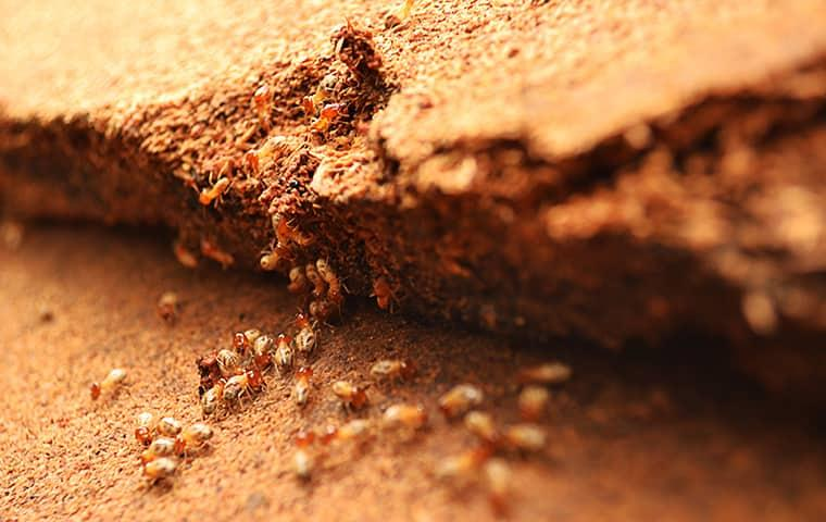 termites in a new york home