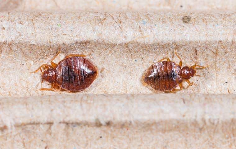 two bed bugs on a new york homes comforter