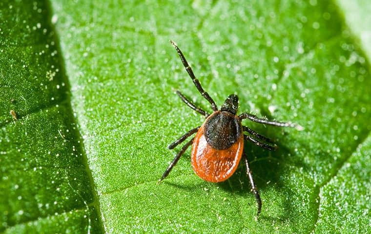 tick crawling on a leaf