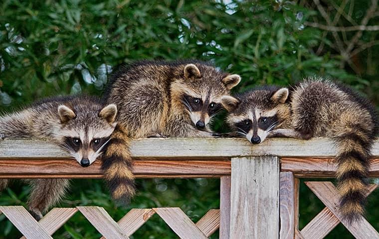 three raccoons sitting on fence