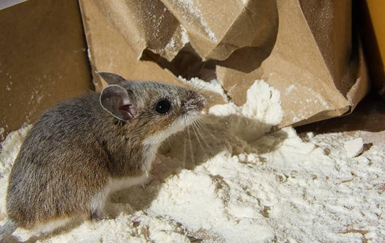 house mouse in kitchen cabinet