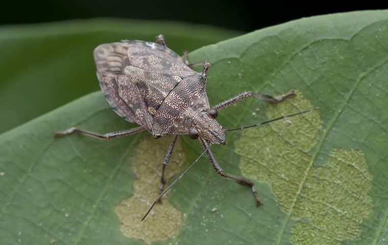 learn how to identify stink bugs in your home