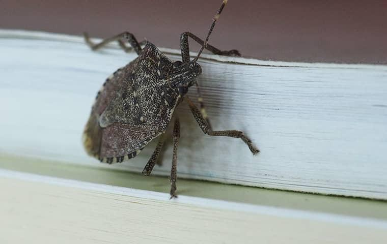 a stink bug on a window in connecticut