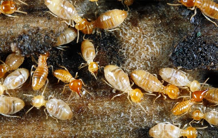 an alarmingly large swarm of termites damaging the wooden structure of a new york home