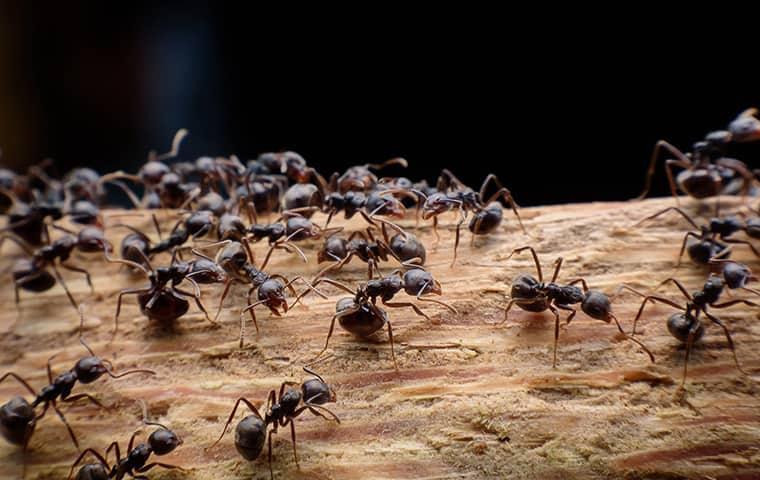 ants in new york
