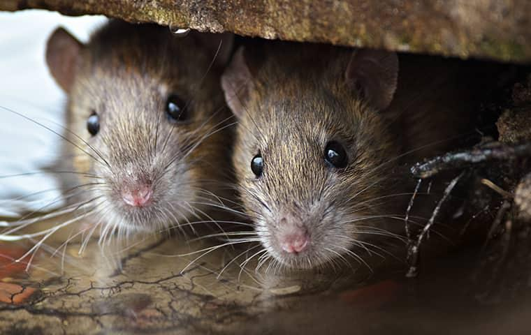 two mice looking into a new york home