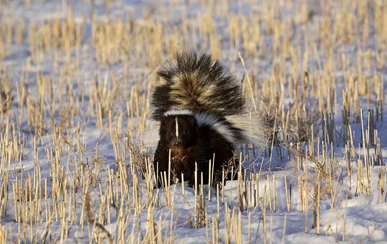 skunk standing on snow covered ground in westchester county