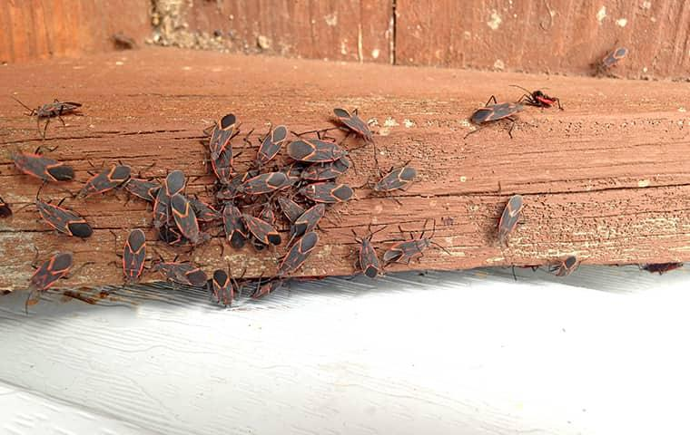 box elder bugs trying to get inside home