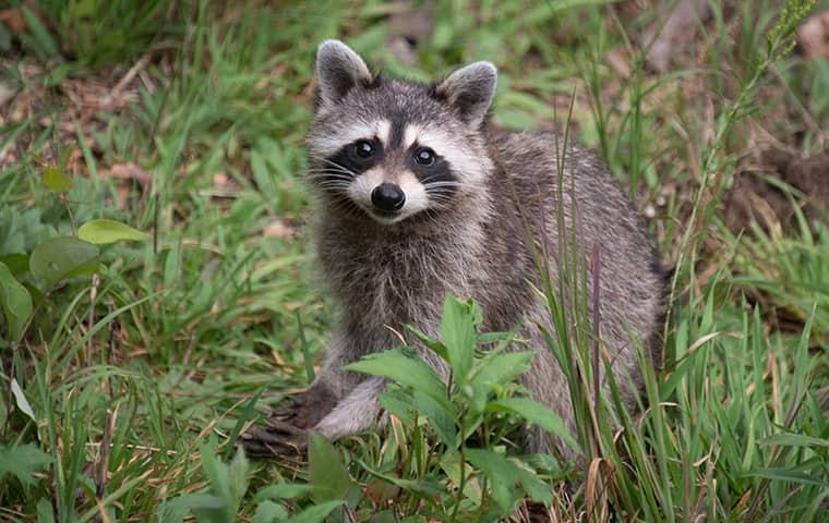 raccoon looking for a way in to a home