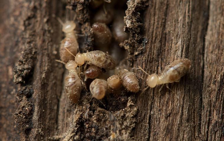 termites dont hibernate in the winter so beware