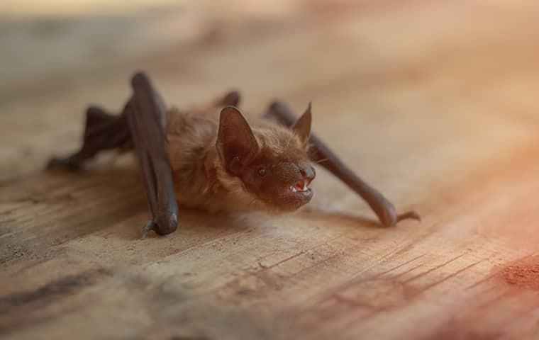 little brown bat in home