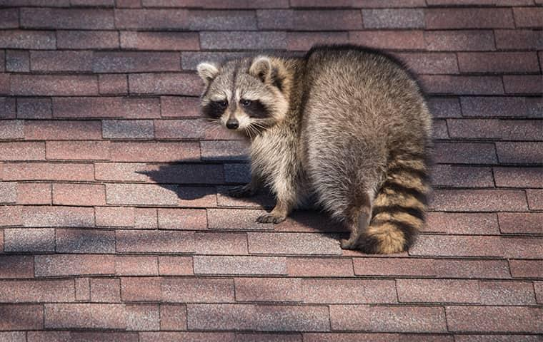 raccoon looking for food