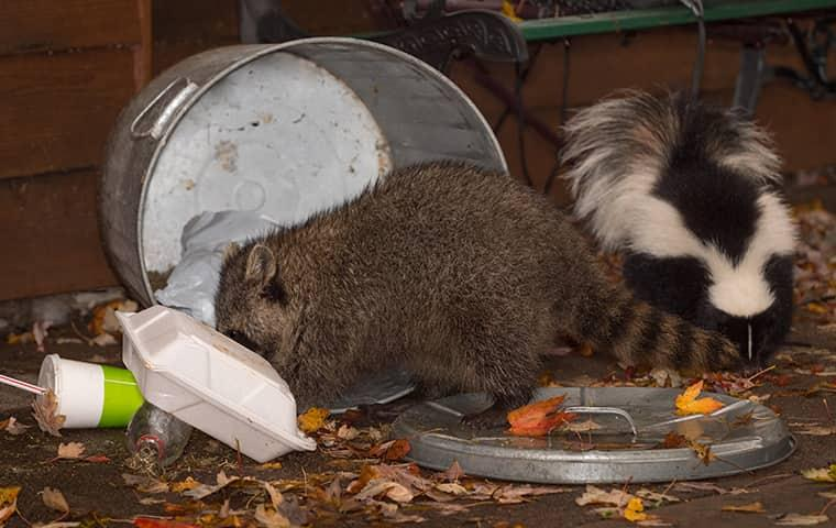 wildlife pests scavenging for food from trash