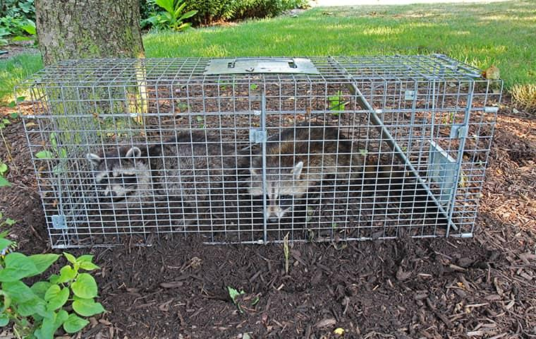 two raccoons caught in live trap in new york