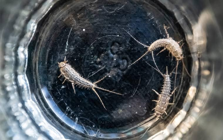silverfish in a new york home