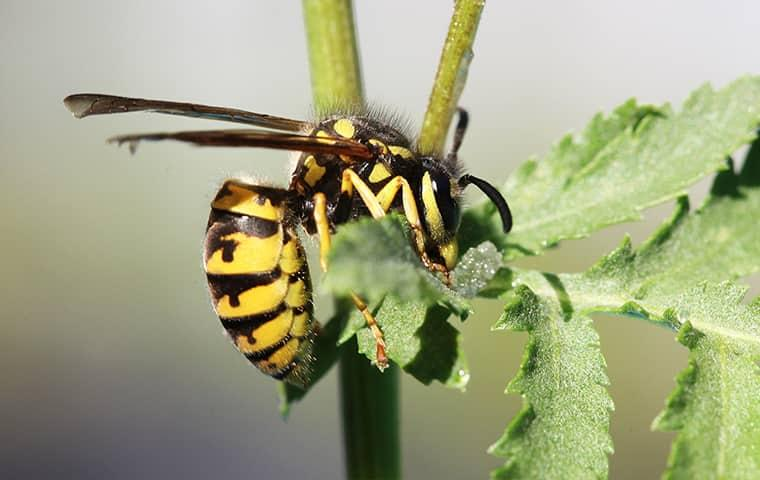 a large yellow and brown stinging wasp hanging over a plant in a westchester newyork garden
