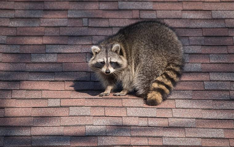 learn more about the problems raccoons can cause