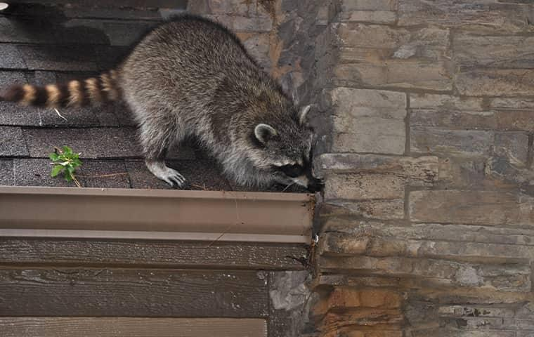 raccoon scratching on roof of house in westchester county