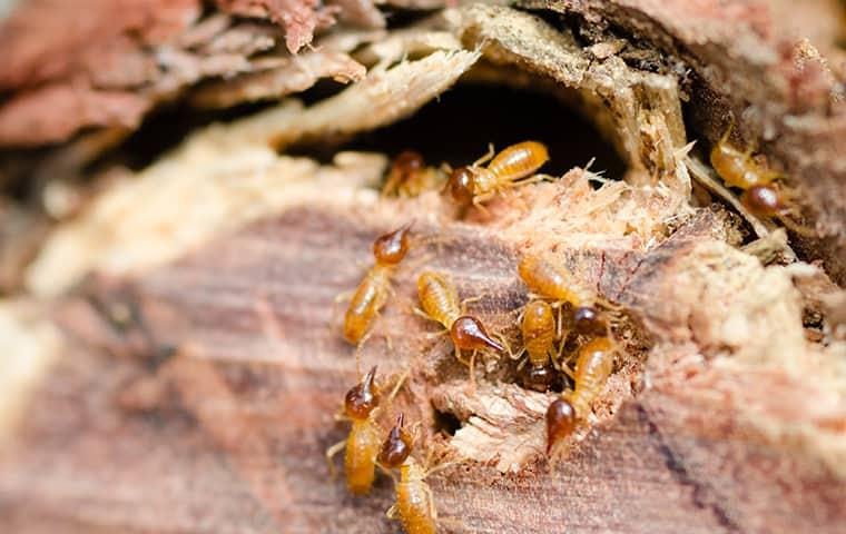 termites eating wooden structure in new york