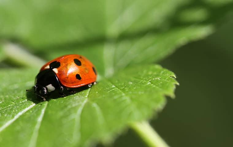 get rid of ladybugs with parkway