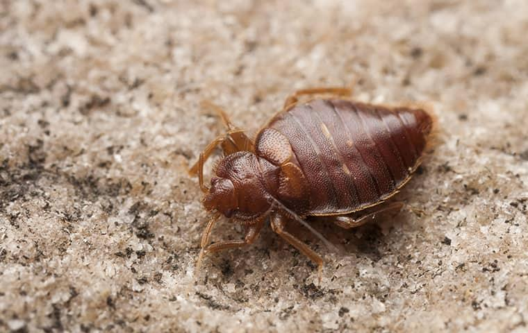 bed bugs spread faster when travel increases