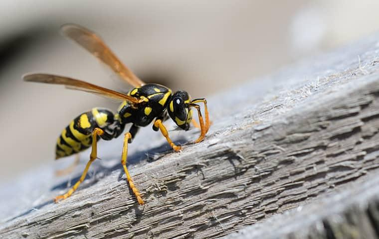 yellow jacket on a log in new york