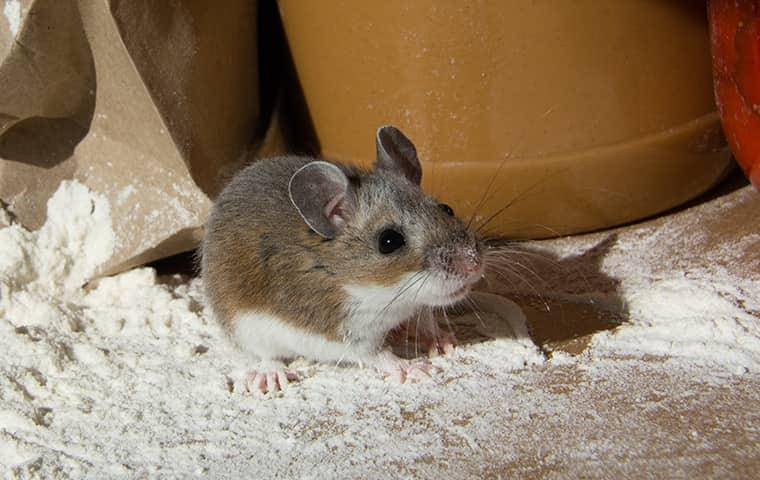 mouse in a new york home looking for shelter