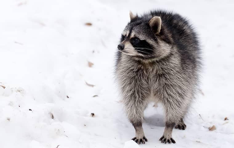 raccoon in new york
