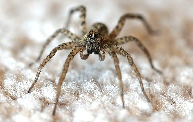 a wolf spider standing up on its long legs as it is perched on a basement wall
