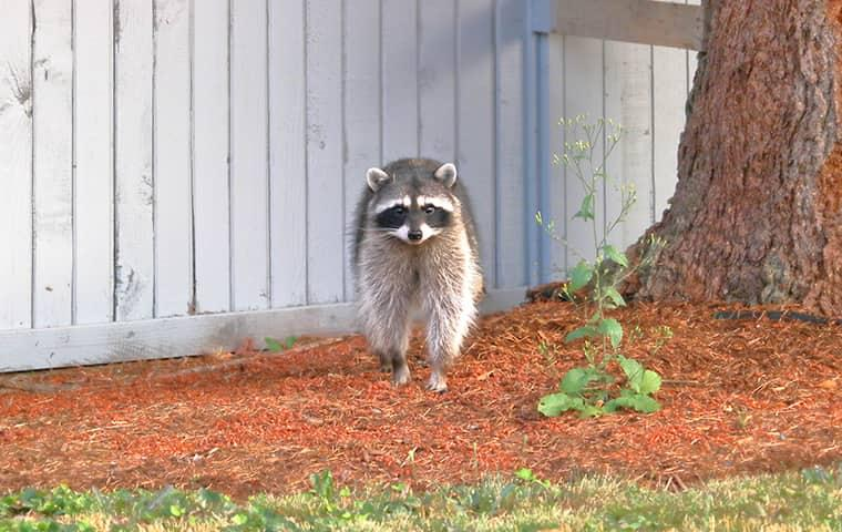 raccoon in the backyard of a home in new york