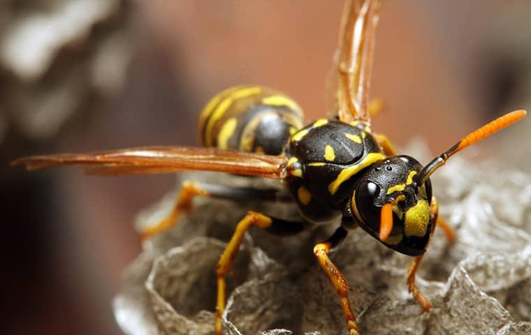 a stinging yellow jacket residing on his nest in a westchester home