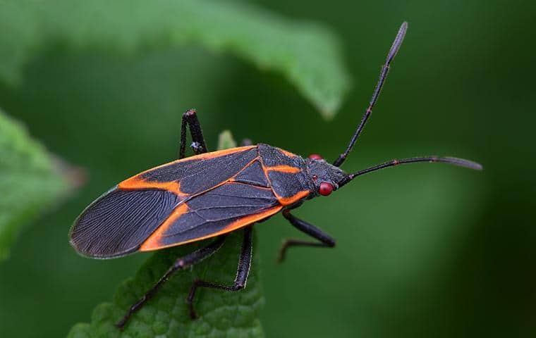 a box elder bug outside of a home in staten island