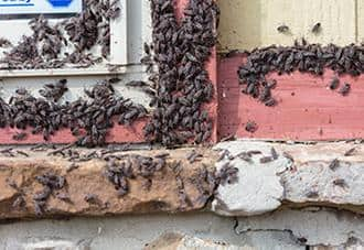 a multitude of box elder bugs infesting a new york home