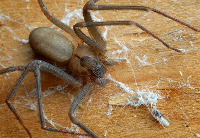brown recluse spinning a web