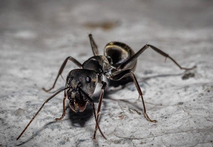 a carpenter ant infestation in a bronxville home