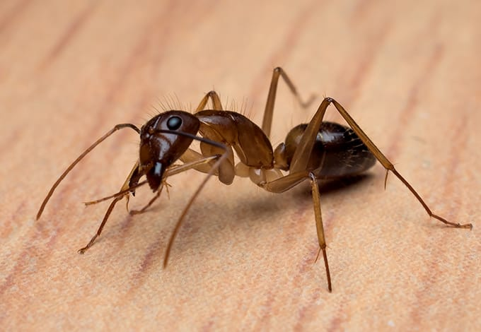close up of carpenter ant