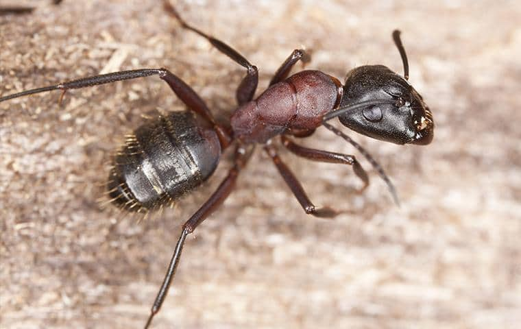 a carpenter ant in nassau county new york